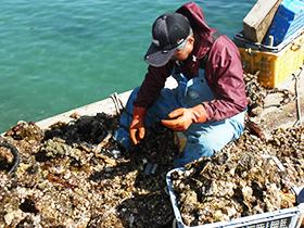 牡蠣に付いた海藻等を手作業で一つ一つ取り除く